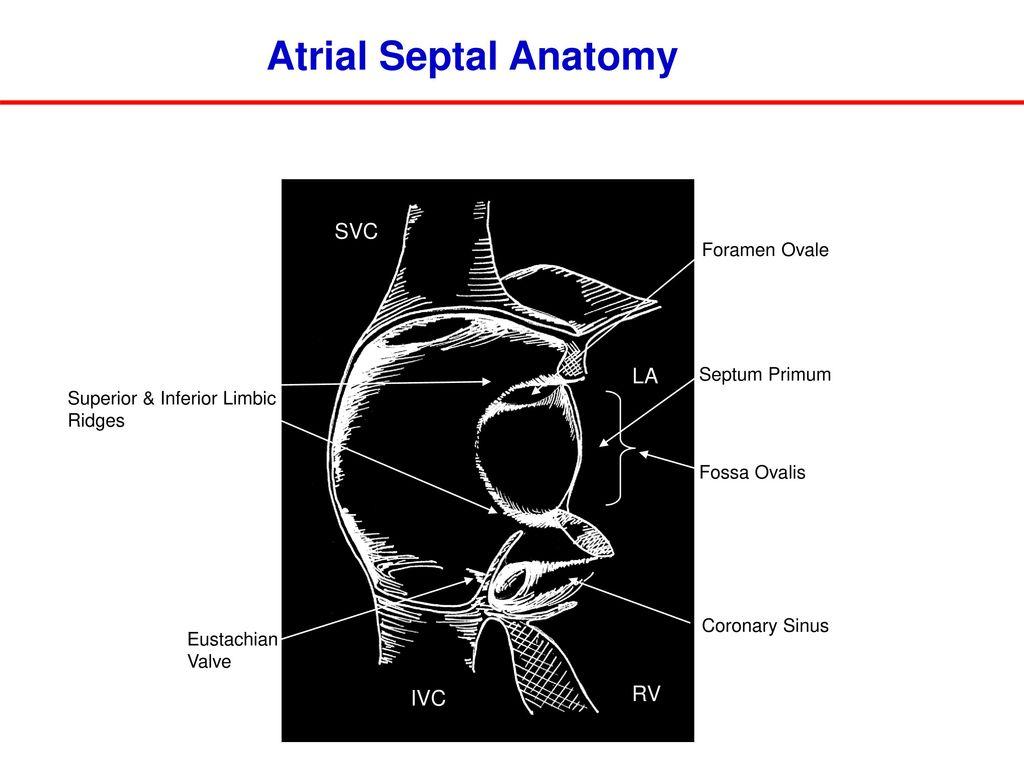 Outstanding Eustachian Valve Anatomy Frieze Anatomy And Physiology