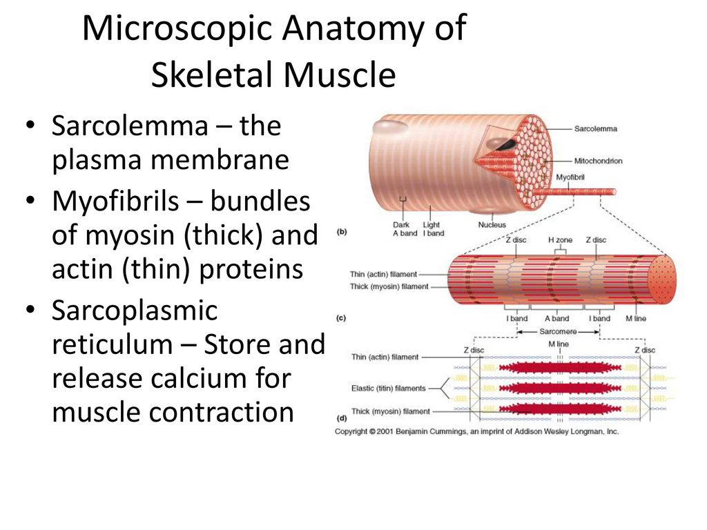 The Muscular System FQ: What is the hierarchal structure of a muscle ...