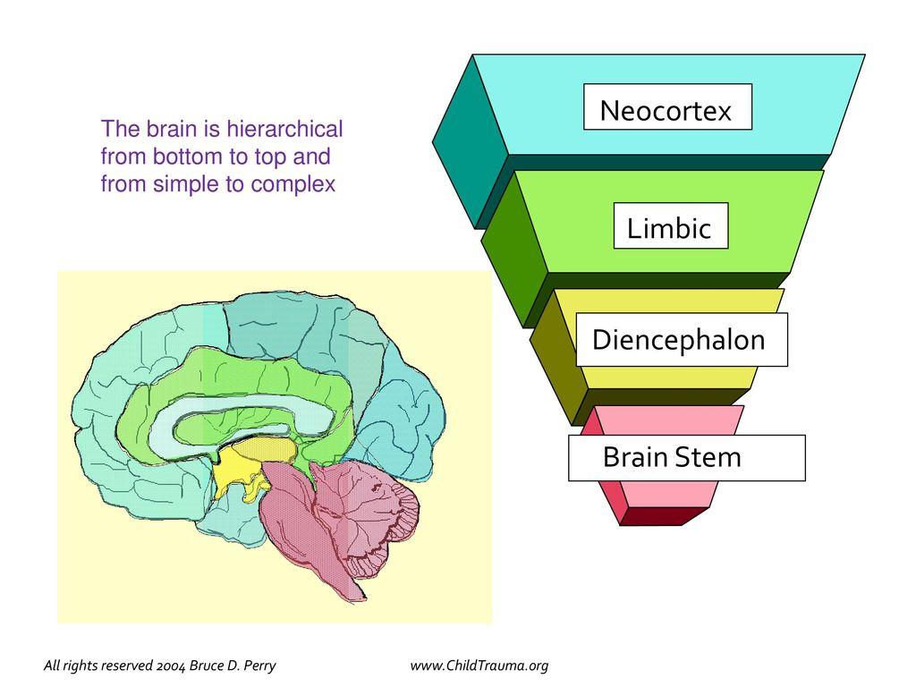 Multidisciplinary Approach For Healthy Brain Development Ppt Download Stem On A Simple Diagram Neocortex Limbic Diencephalon