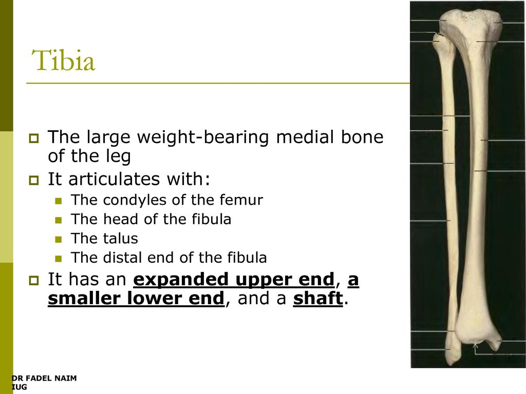 Bones Of The Leg Popliteal Fossa The Knee Ppt Download