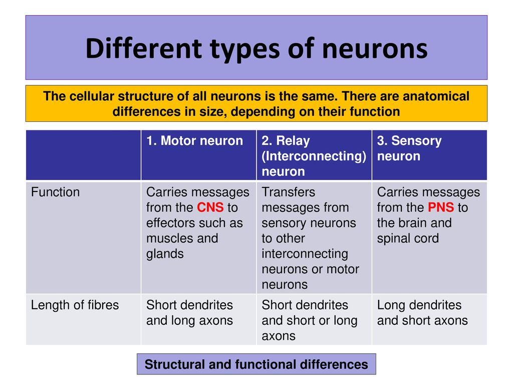 Neurons and synaptic transmission - ppt download