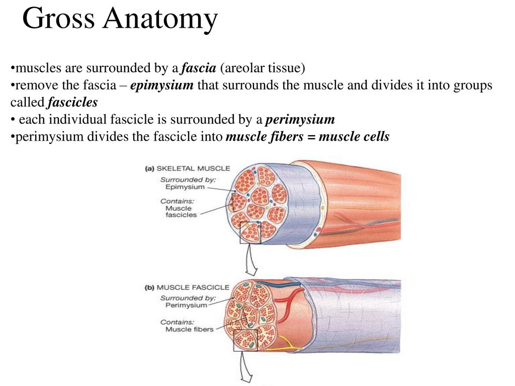 Muscular Tissue specialized for contraction - ppt download