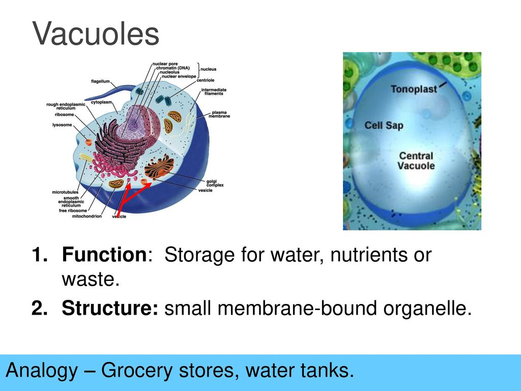sac that stores water nutrients or waste products