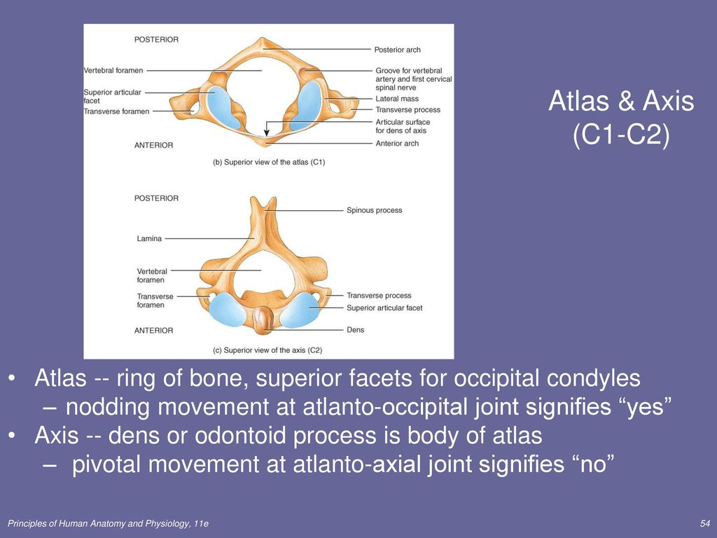 The Skeletal System: The Axial Skeleton Lecture Outline - ppt download