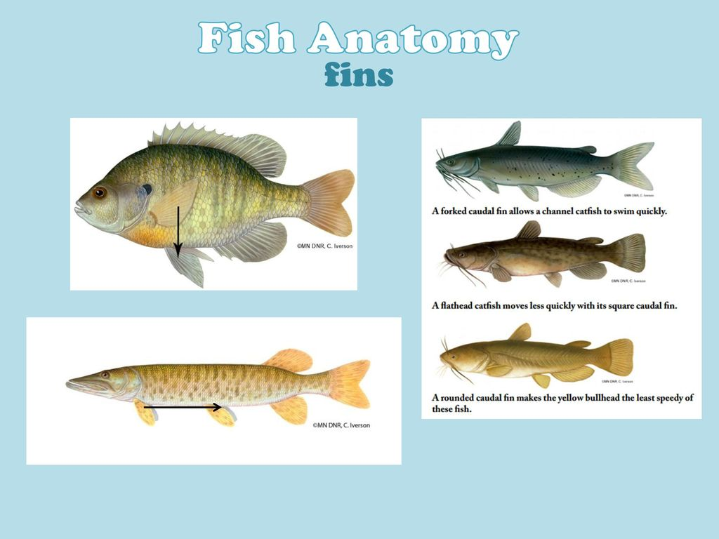 Fish Anatomy body shape Laterally compressed. - ppt download