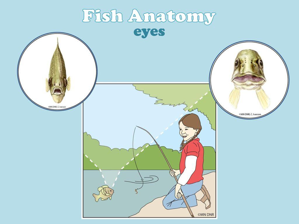 Modern Fish Anatomy Diagram Model - Anatomy and Physiology Tissue ...