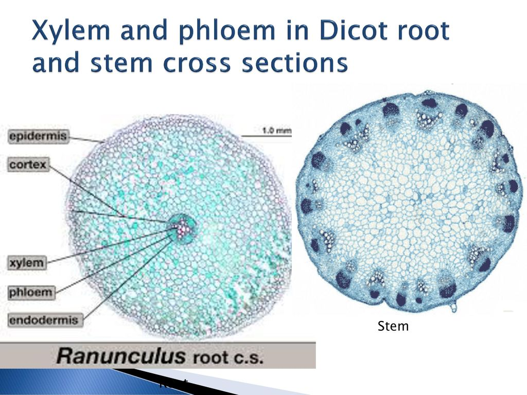 9.2 Transport in the Phloem of Plants - ppt download