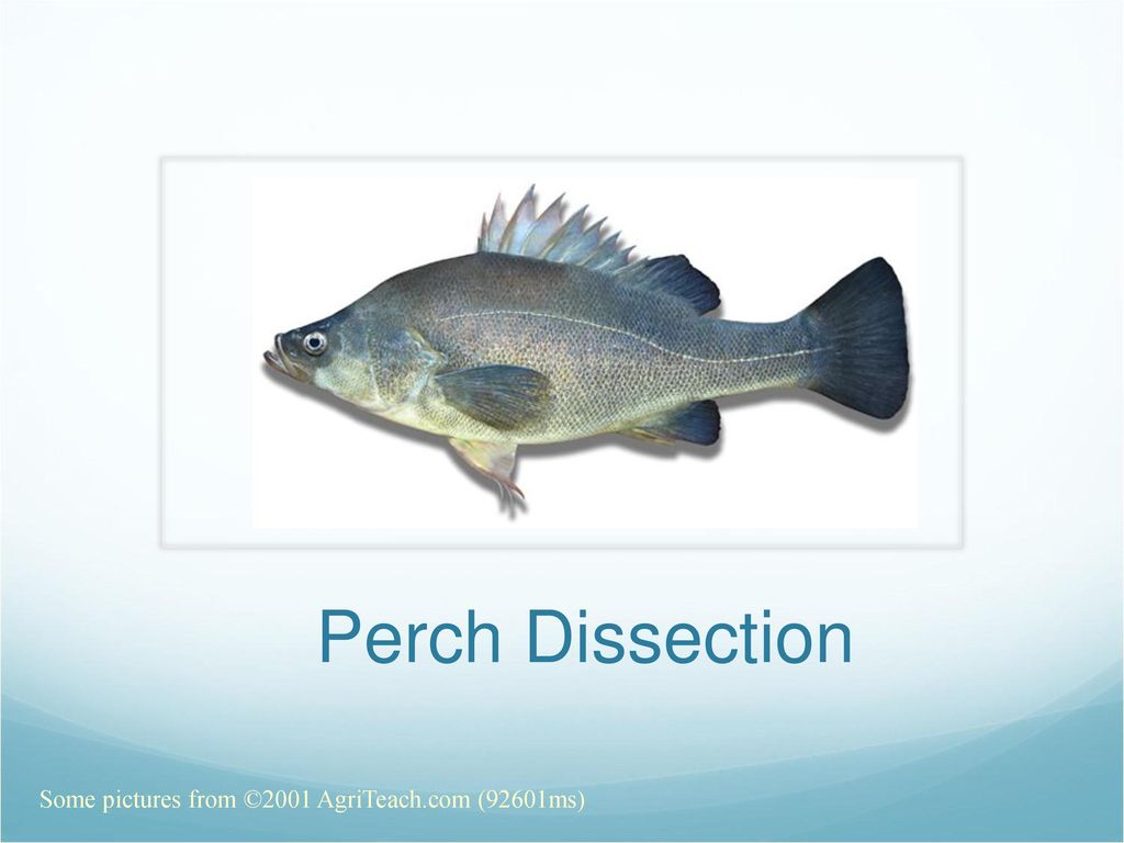 Perch Anatomy Topsimages