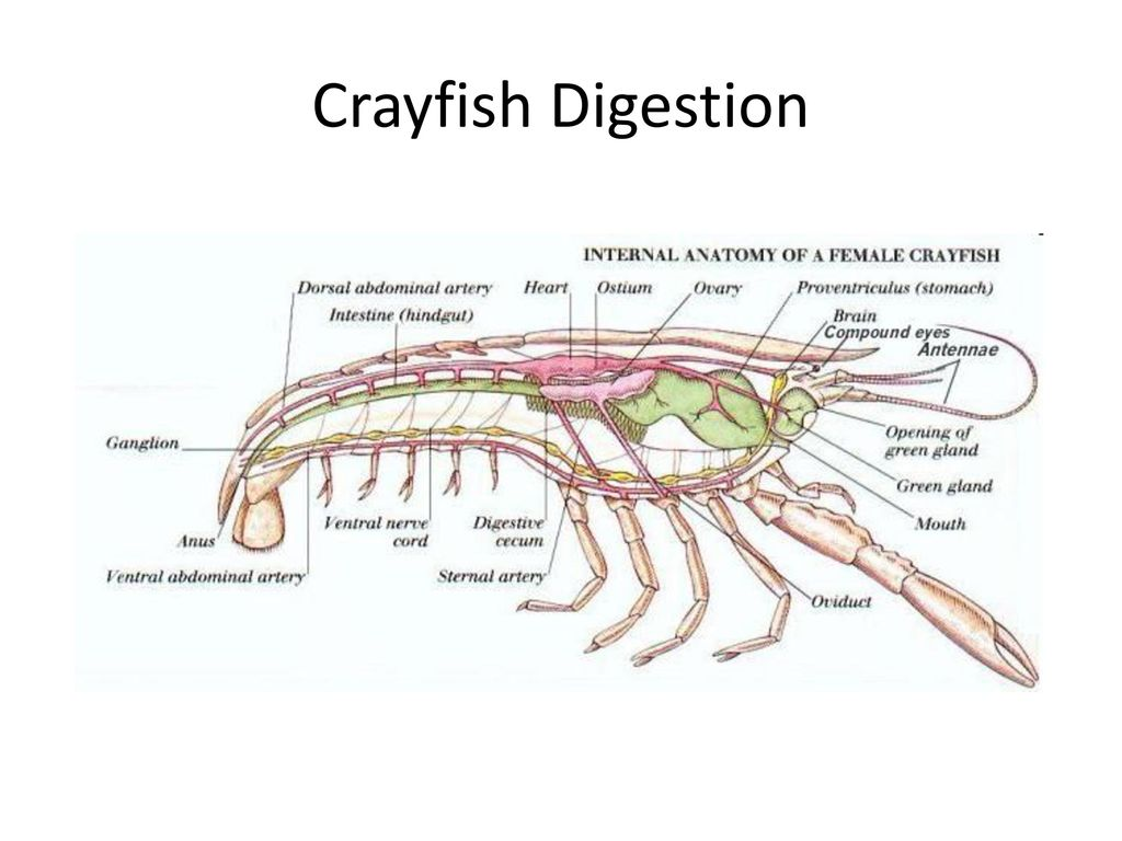 The Digestive System Biology. - ppt download