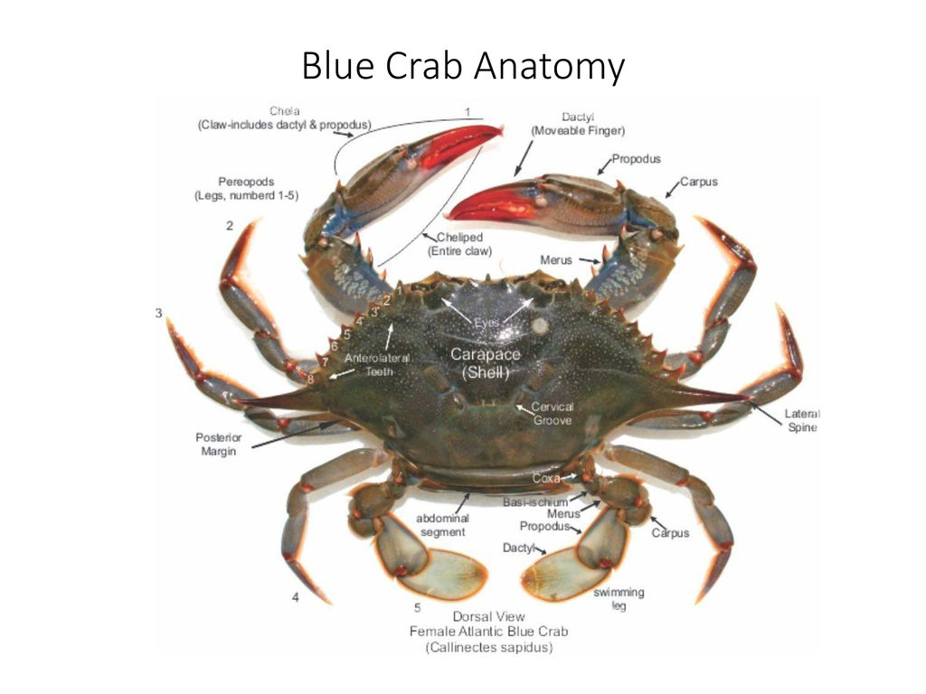 Counting Blue Crabs in the Chesapeake Bay - ppt download