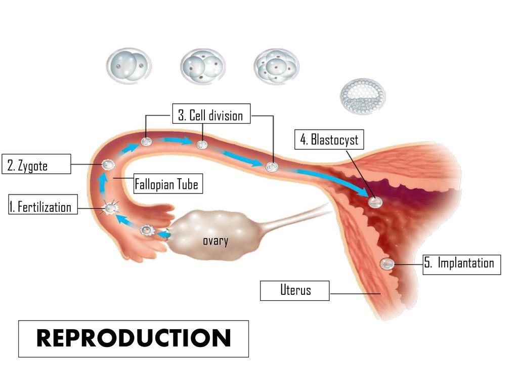 implantation uterus reproduction  reproduction 3  cell division 4   blastocyst 2  zygote fallopian tube