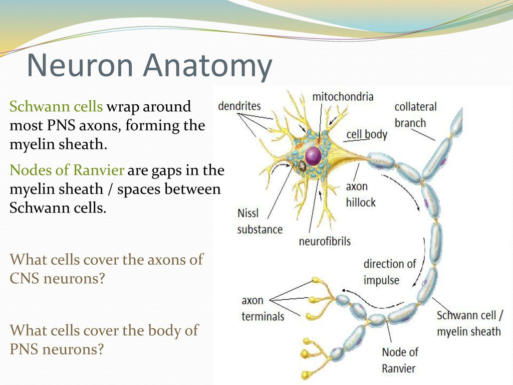 Dorable Neuron Anatomy Ensign - Anatomy and Physiology Tissue ...