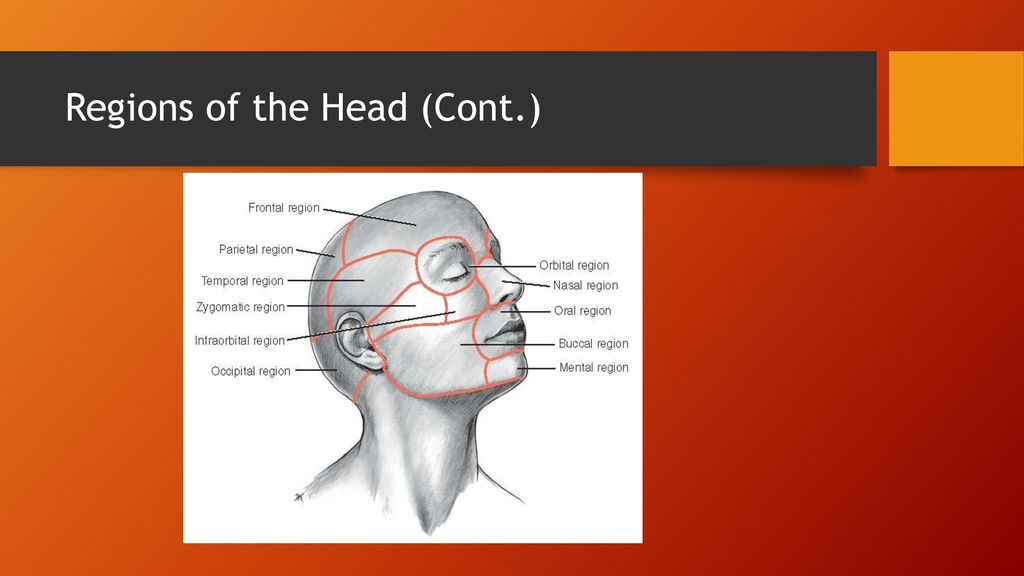 Chapter 9 Head and Neck Anatomy. - ppt download