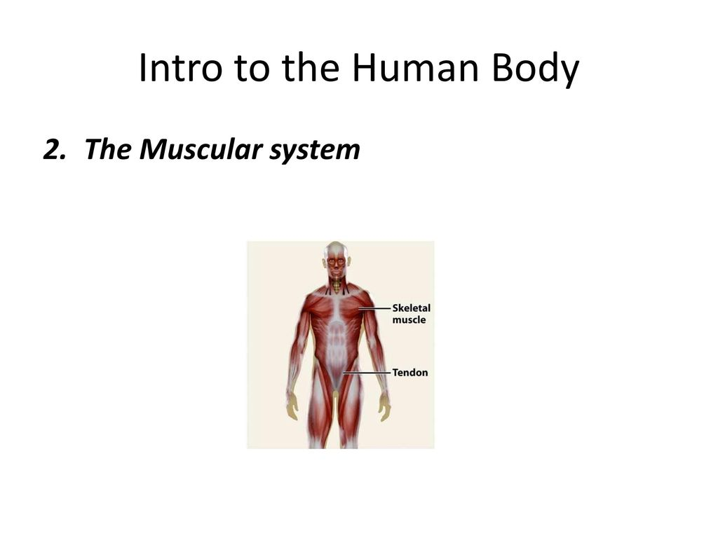 1 Intro To The Human Body Ppt Download
