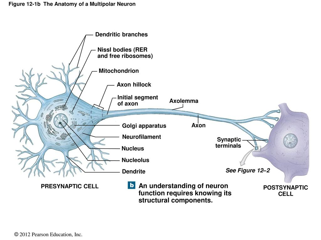 12 Neural Tissue. - ppt download