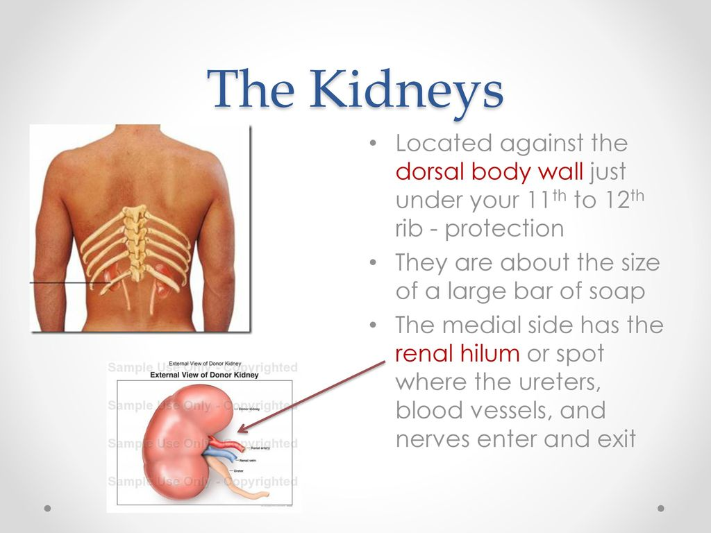 where are your kidneys - HD 1024×768