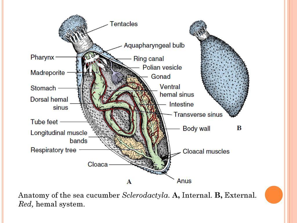 Unique Sea Cucumber Anatomy Mold - Internal organs diagram ...