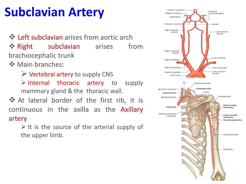 Major Body Arteries. - ppt download