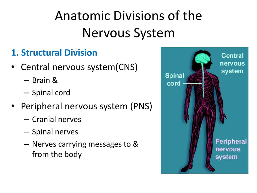 The Nervous System: The Spinal Cord & Spinal Nerves - ppt download