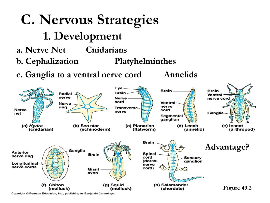 Animal Regulatory Systems Ppt Download Hydra Cnidaria Diagram Images Pictures Becuo C Nervous Strategies 1 Development A Nerve Net Cnidarians