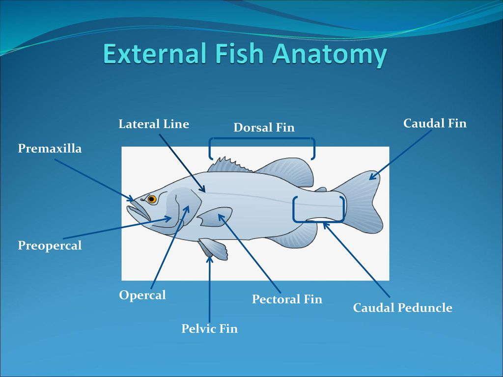 One Fish, Two Fish, Red Fish, Blue Fish - ppt download