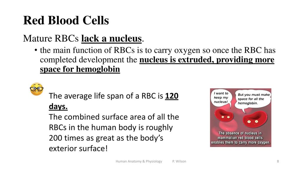 Mature erythrocytes lack a nucleus