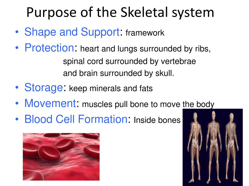 Purpose Of The Skeletal System Ppt Download