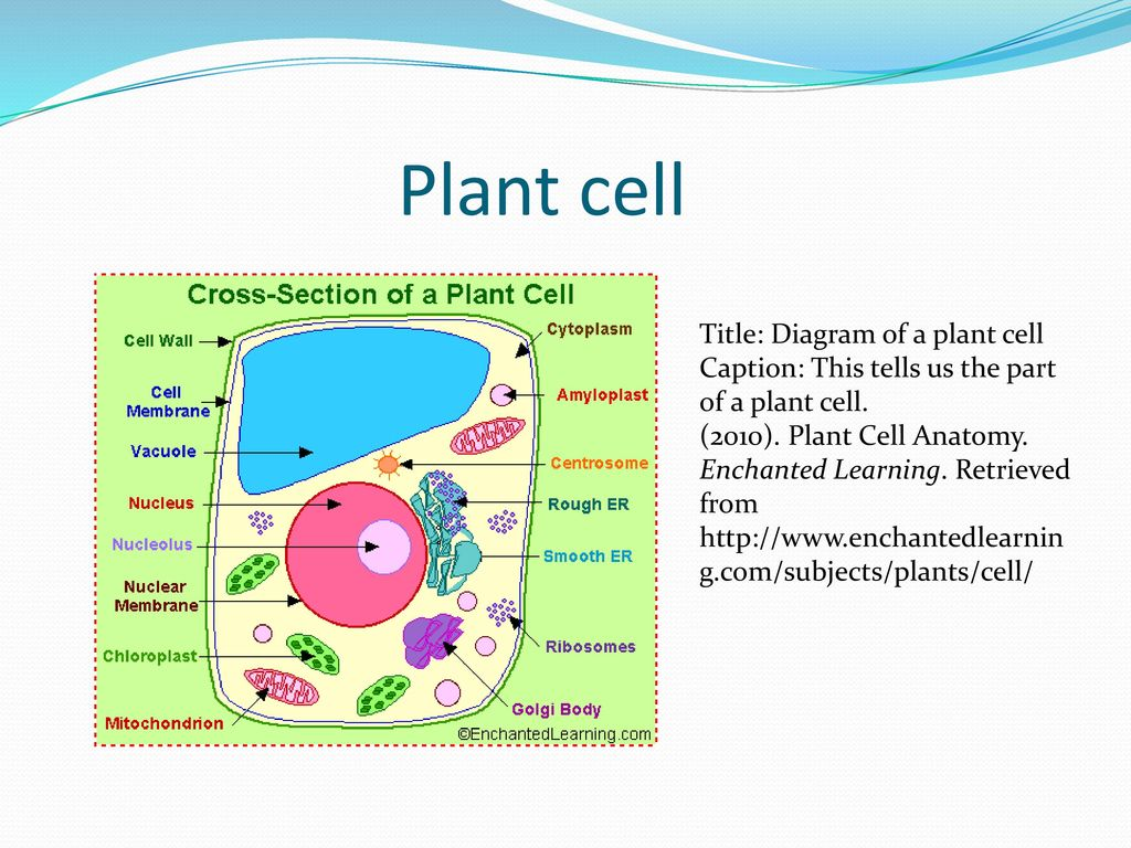 Leaha salmon 4th grade science ppt download leaha salmon 4th grade science 2 plant cell title diagram ccuart Gallery