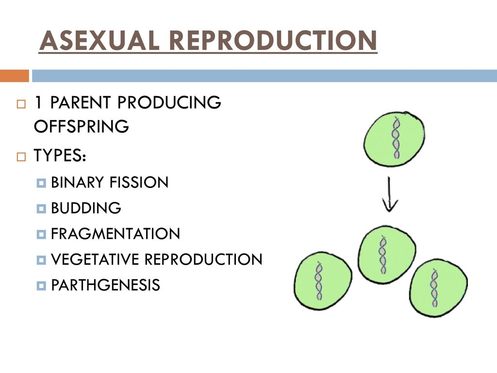 8 cell embryo with 5 fragmentation asexual reproduction