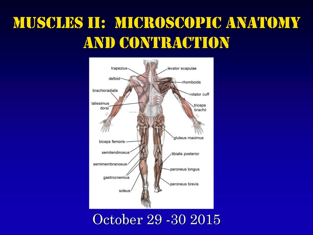Muscles II: Microscopic Anatomy and Contraction - ppt download