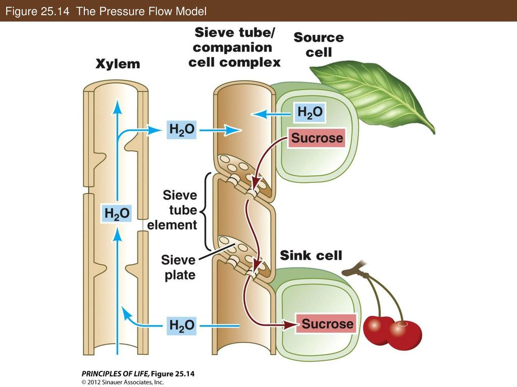 plant nutrition and transport ppt downloadTree Diagram Cells Companion A Biography #19