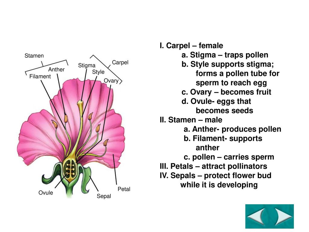 Figure 245 the structure of a flower ppt download figure 245 the structure of a flower izmirmasajfo