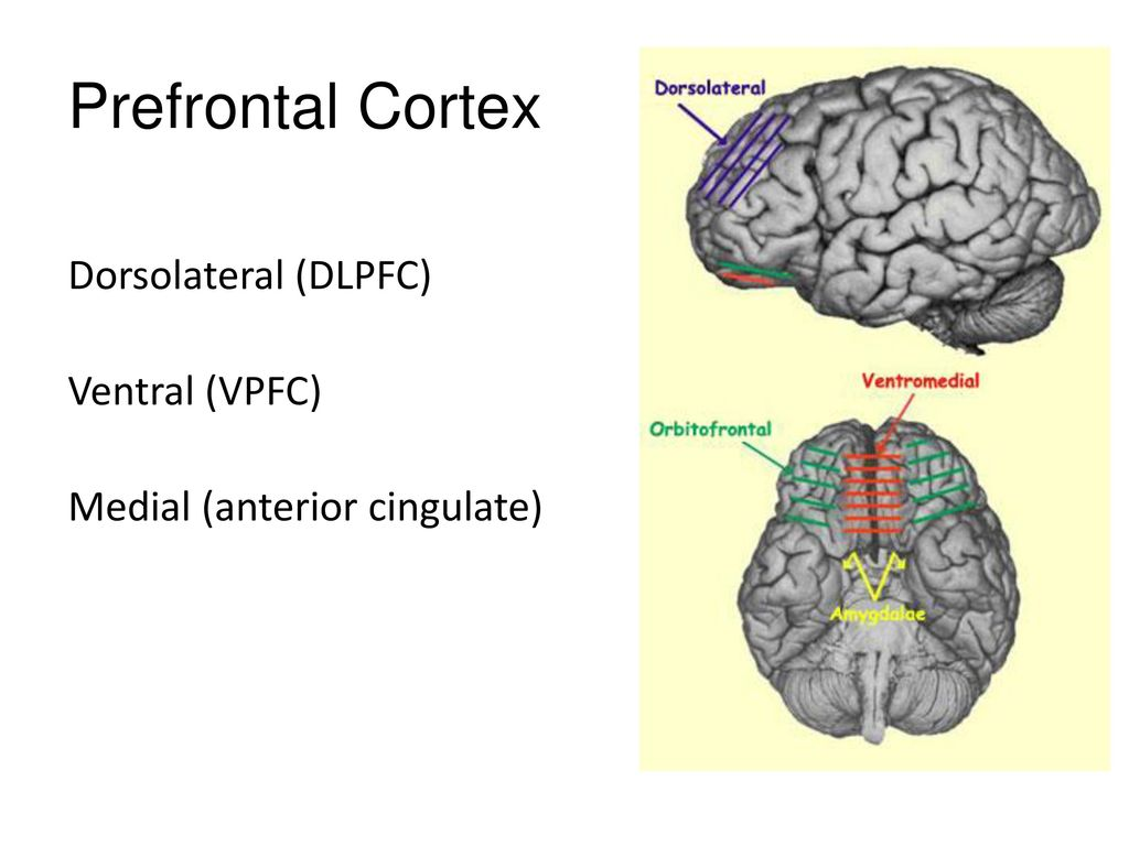 Prefrontal Cortex and Executive Function - ppt download