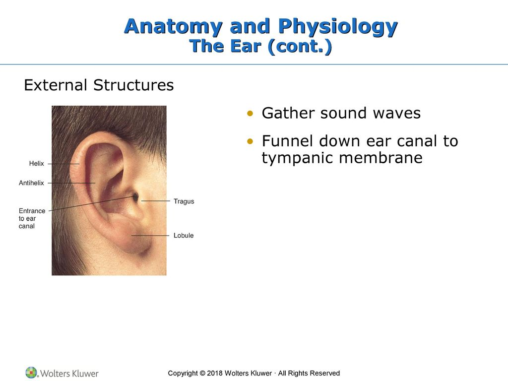 Nett Anatomy And Physiology Of Ear Nose And Throat Fotos ...