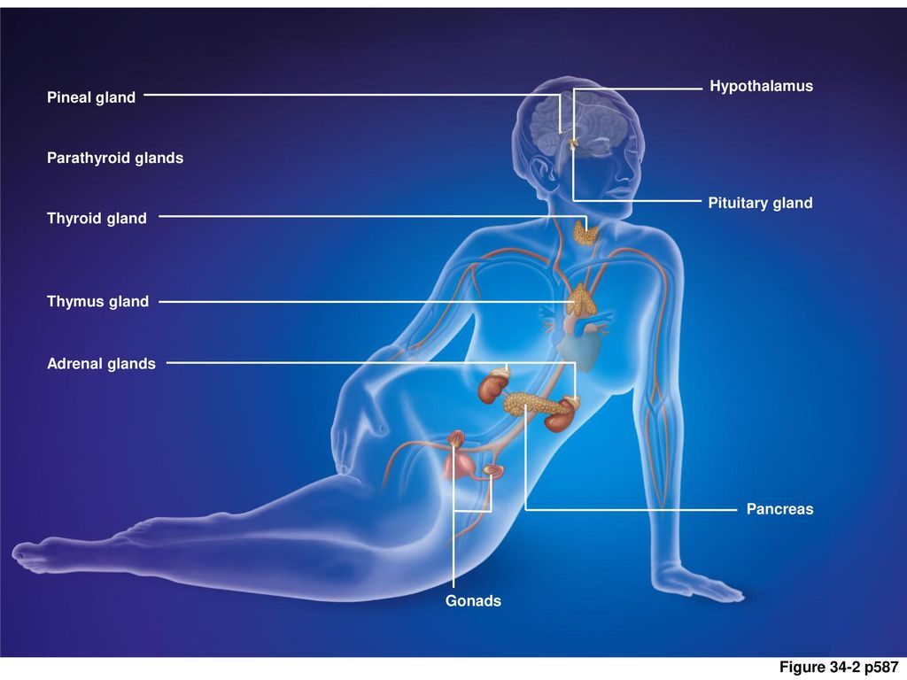 Chapter 34 Endocrine Control Ppt Download