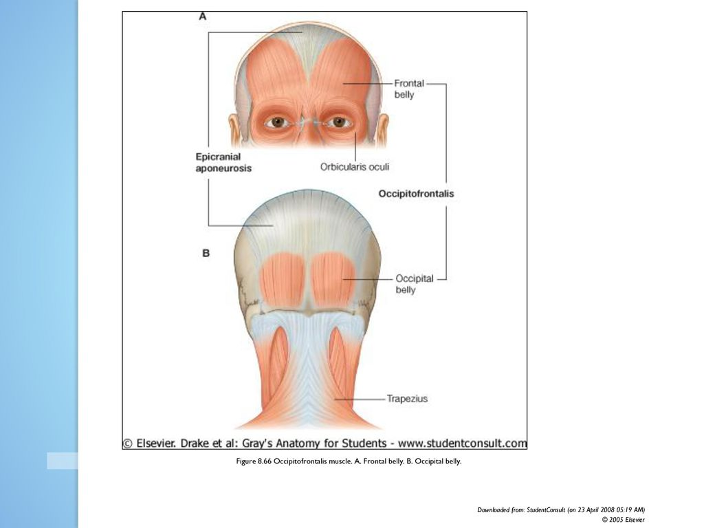 Figure 8.51 Orbital group of facial muscles. - ppt download