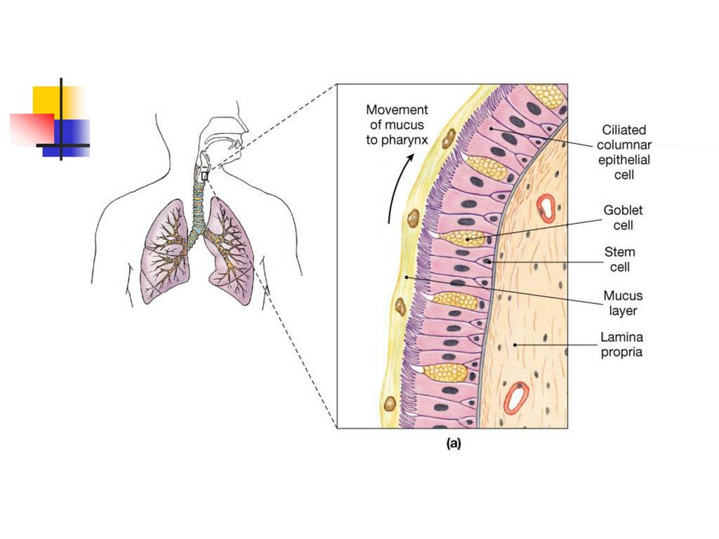 Ppt Download Exhaling Diagram Breathing Or Ventilation 10