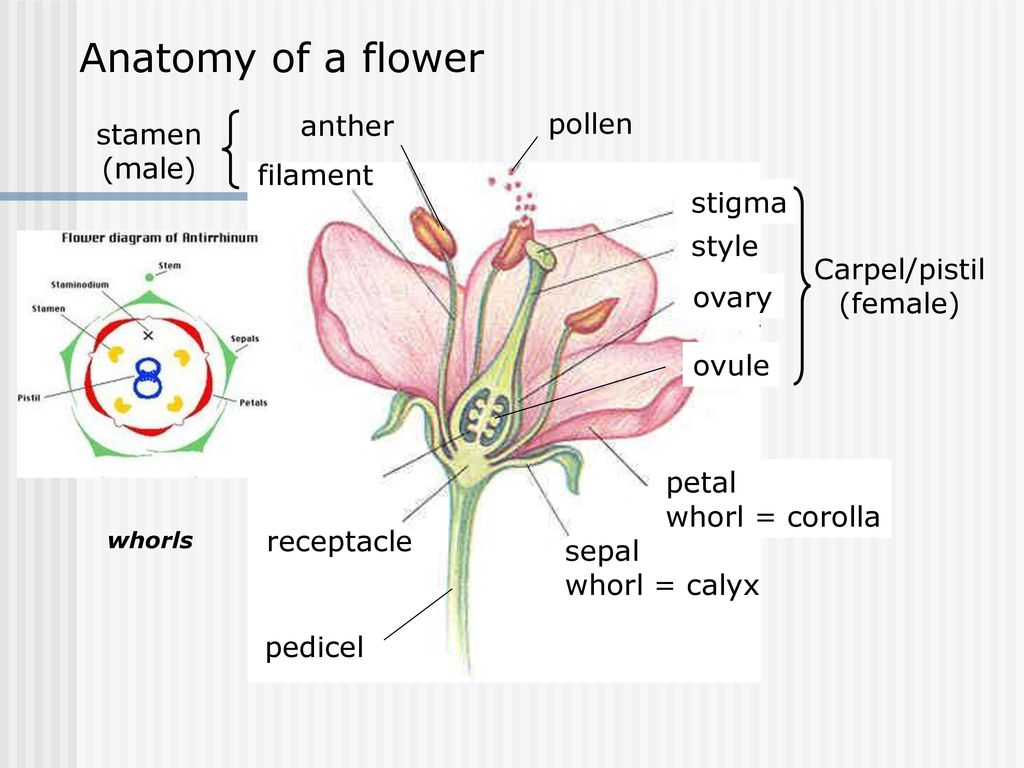 Anatomy of a flower anther pollen stamen (male) filament stigma style