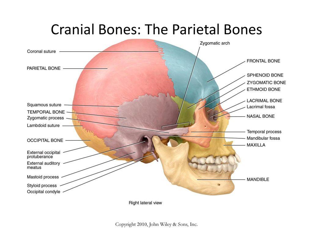 AGENDA DEC 21 Objective: Define and identify the bone surface ...