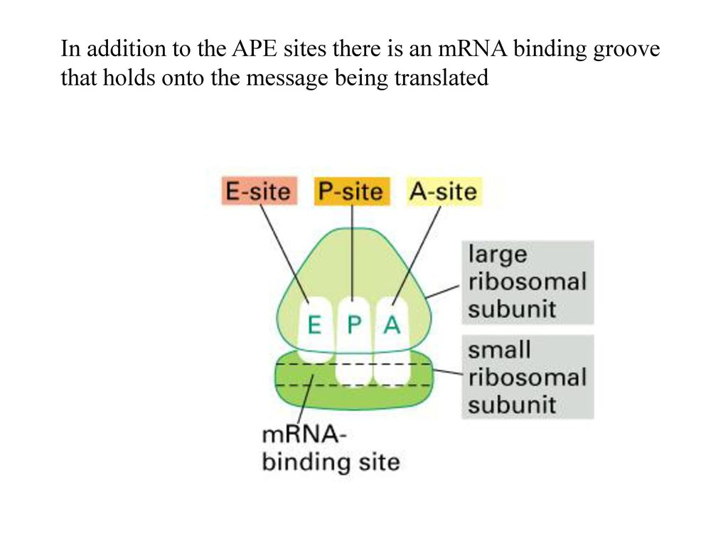 Translation From Messenger Rna To Protein Ppt Download