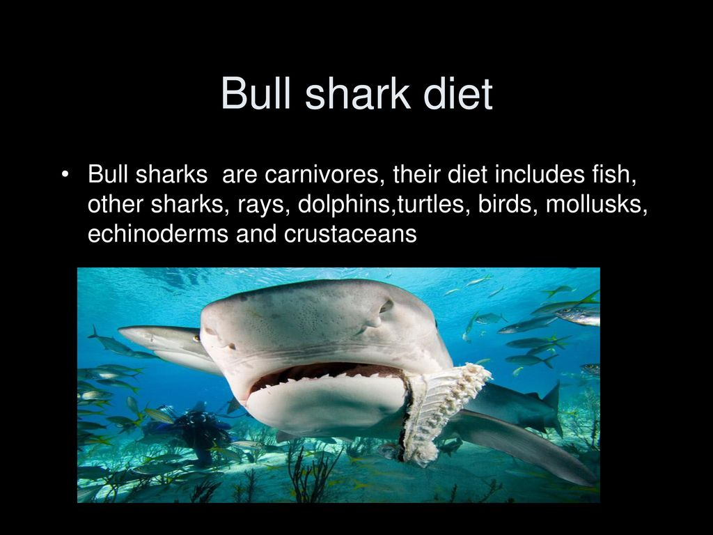 Bull Shark Carcharhinus leucas - ppt download