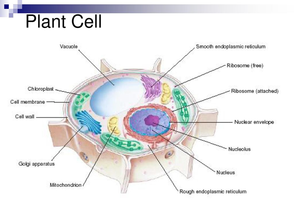 Cell Structure And Function Ppt Download Prokaryoticcelljpg 5 Plant
