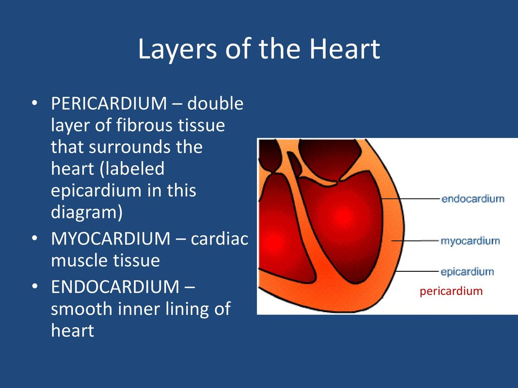 Structures of the heart ppt download layers of the heart pericardium double layer of fibrous tissue that surrounds the heart ccuart Choice Image