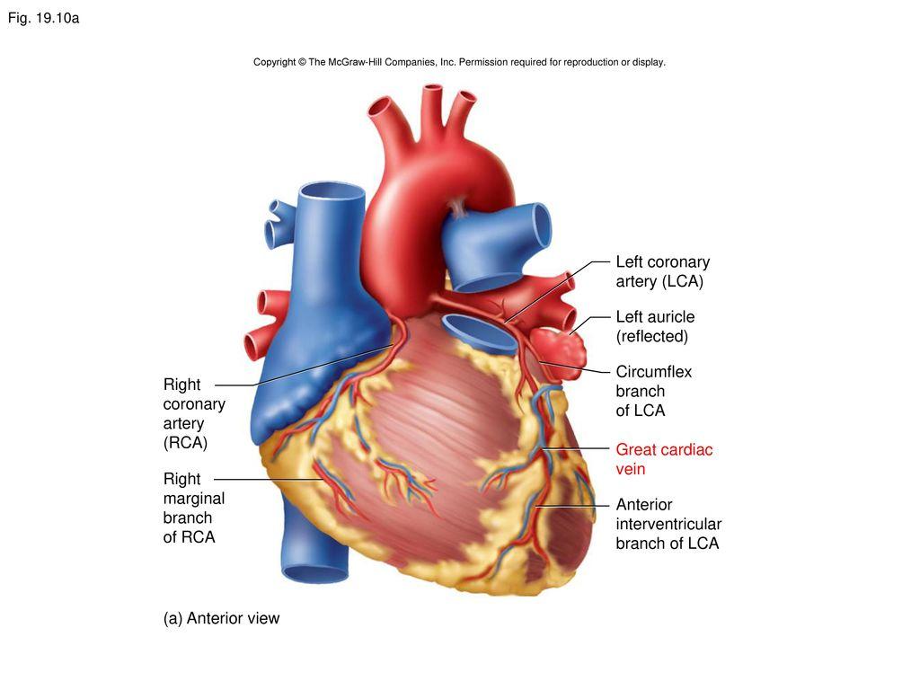 Heart Diagram Mcgraw Wiring Diagram