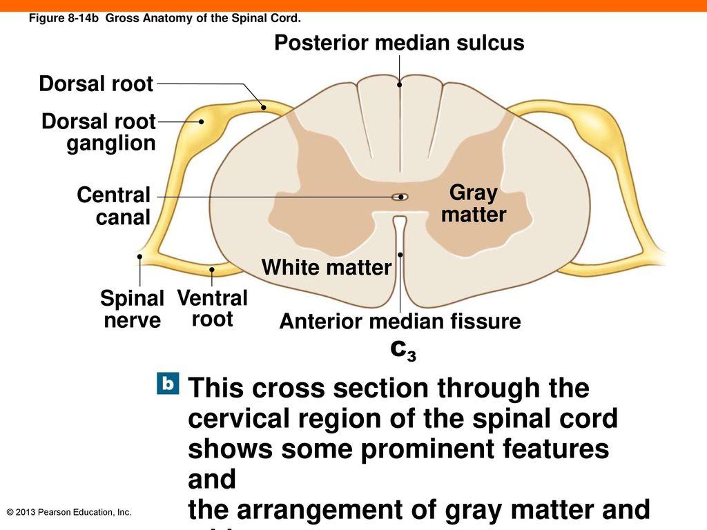 8 The Nervous System. - ppt download