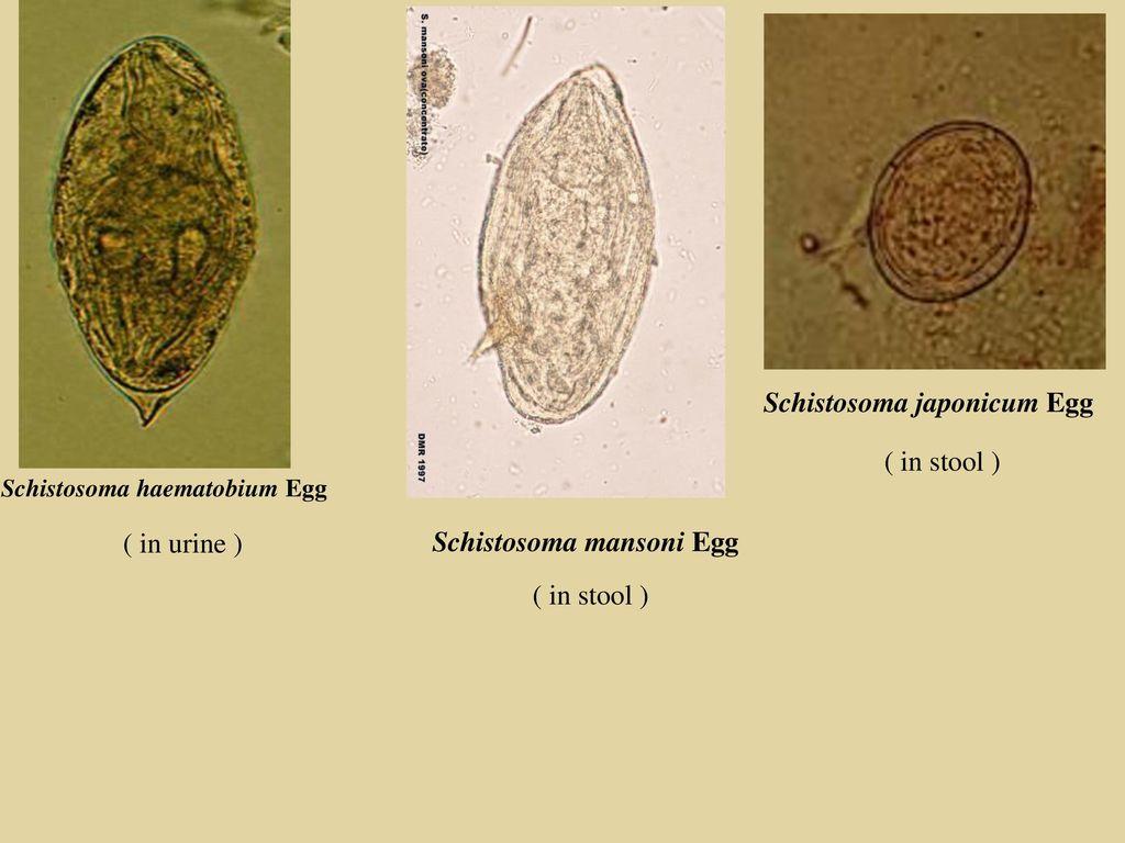 Schistosomiasis eggs in stool - Hpv impfung gegen was