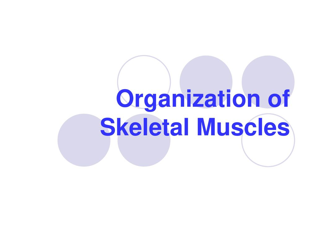 Organization of Skeletal Muscles - ppt download
