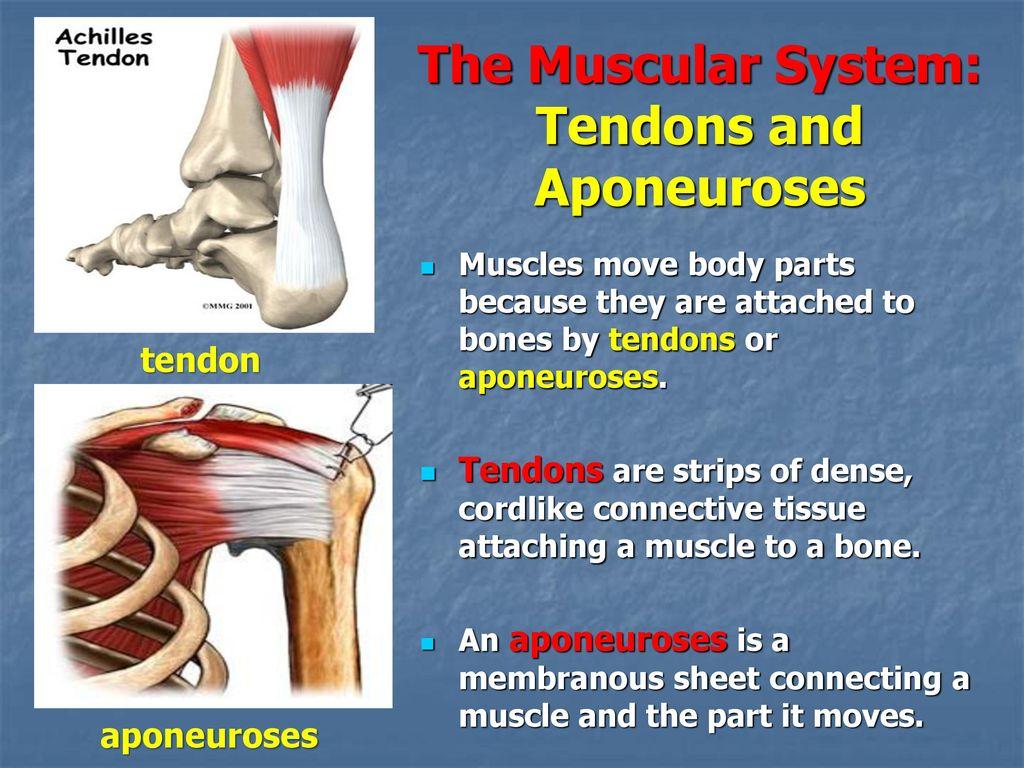 elaine marieb muscular system the musclefunctionorigininsertion