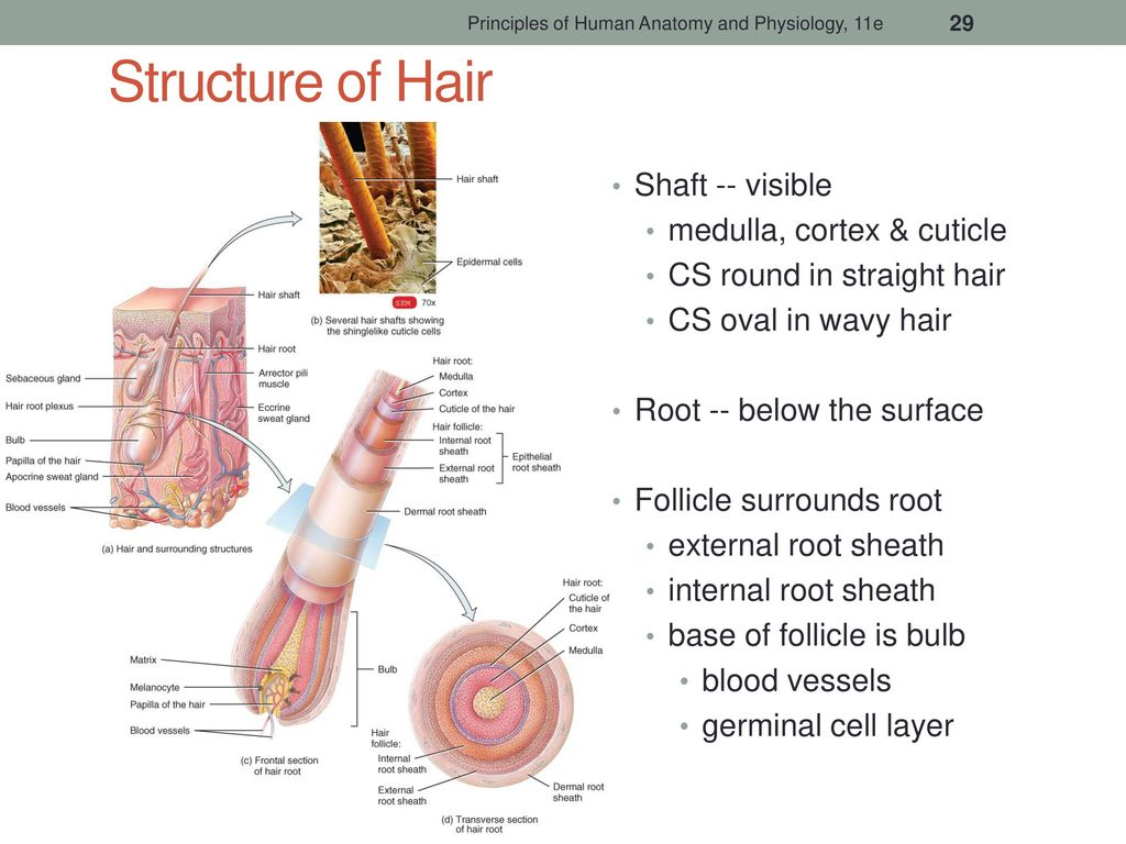 The Integumentary System - ppt download