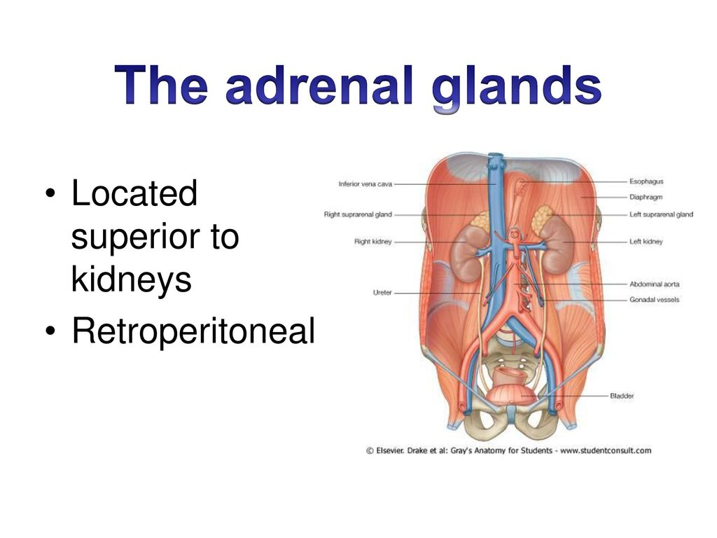 Adrenal Gland Location Topsimages
